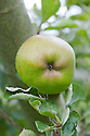 "Apple 'Baldwin', mid September. An American dessert apple. ""The 'Baldwin' is believed to have originated as a chance seedling on the farm of John Ball, near present-day Wilmington, Massachusetts sometime around 1740.  The ""discovery"" of the apple however, is commonly credited to a man by the name of William Butters, who later come into possession of the farm and named the apple the 'Woodpecker' or 'Pecker' for short, in honor of the many Woodpeckers he observed frequenting the tree.  Even after it's naming however, the apple largely remained unknown until a local surveyor by the name of Deacon Samuel Thompson, encountered the tree and brought the apples to the attention of Loammi Baldwin.  Baldwin a Colonel and an engineer on the Middlesex Canal, took a liking to the apple and is largely responsible for it's propagation and further introduction into other parts of New England. The apple held prominence in New England and other parts of the Northeast, including New York, throughout the 19th century.  However, by the early 1900s the Baldwin began to loose favor as an eating apple, being replaced by the 'Jonathan'.  It's plight was not helped by an especially cold winter in 1934 that wiped out entire 'Baldwin' orchards in many parts of New England.  After this massacre, many of the orchards were either never replanted or were replaced by new cultivars.  Because of its desirability as a cider apple, however, it can still be found in many parts of the Northeastern United Sates.""<br /> http://appleharvester.blogspot.co.uk/2010/04/story-of-apple-baldwin.html"