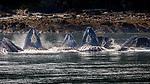 USA, Alaska, Glacier Bay National Park , humpback whale (Megaptera novaeangliae)