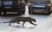 A leopard dashes across the road to attack kudu in the bush.