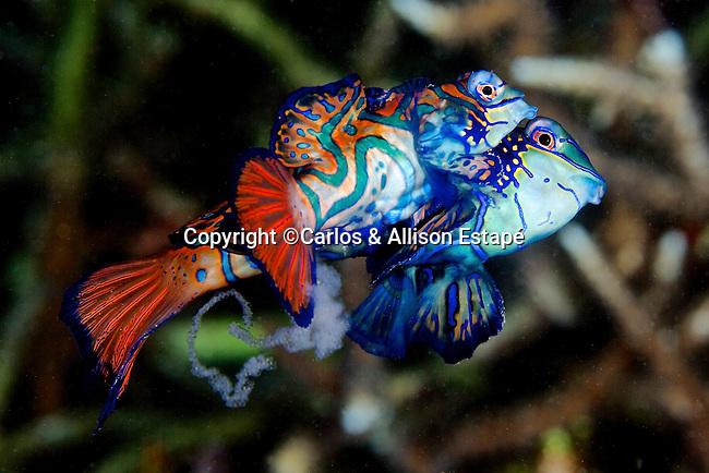 Synchiropus splendidus, Mandarinfish, Lembeh, Indonesia