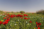 Israel, the Negev desert. Flowers in the Large Crater