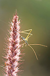 Cricket on grass stem, Bandhavgarh National Park, backlight, soft colours.India....