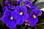 Flores. Violetas ( Viola odorata). SP. Foto de Manuel Lourenço.