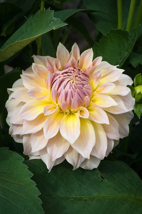 Dahlia 'Westerton Lillian', early September. A large-flowered Decorative Group dahlia in primrose yellow and pink.