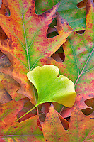Fall colored Ginko leaf and oak leaves. Wilsonville. Oregon