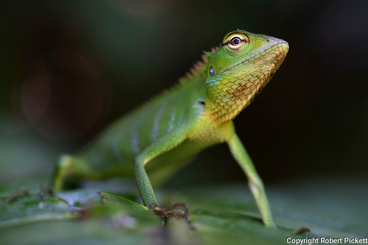 Common Green Forest Lizard, Calotes calotes, Sinharaja World Heritage Site, Sri Lanka, clinging on shrub in forest, close up