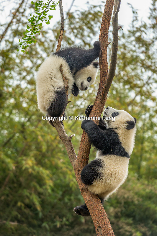 Two 8 month old cubs in tree.  (Ailuropoda melanoleuca)  two 8 month old giant panda cubs playing in tree Chengdu, China   captive