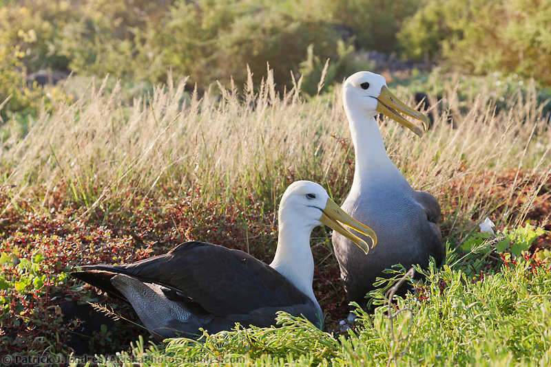 Nesting pair of Waved albatross, Punto Suarez, Espanola Island, Galapagos Islands, Ecuador.