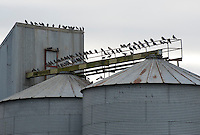 Pigeons on metal grain silos at Grange, Perth and Kinross, Scotland.