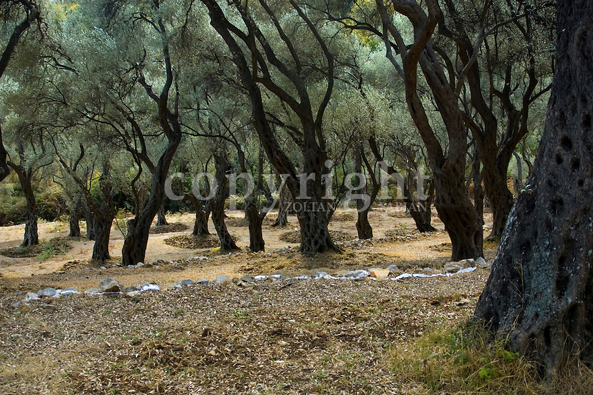 Olive forest in September in Ulcinj, Montenegro, Europe