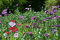 Opium poppies (Papaver somniferum) and Oriental poppies (Papaver orientale), mid June.