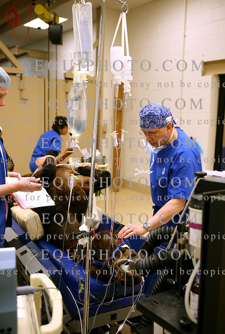Dr. Scott Palmer checks the pulse of his patient, a thoroughbred yearling prior to surgery at the New Jersey Equine Clinic in Millstone Township, N.J.  Photo By Bill Denver/EQUI-PHOTO.