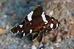 Epinephelus maculatus, Highfin grouper, juvenile, Ambon, Indonesia