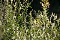 Weißer Steinklee, Weisser Steinklee, Steinklee, Stein-Klee, Melilotus albus, honey clover, white melilot, white sweetclover, sweet clover, White Sweet Clover, le Mélilot, le mélilot blanc