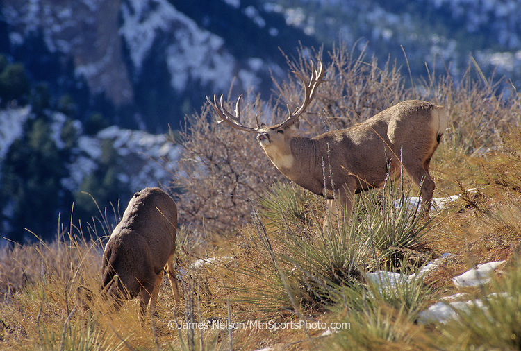 12-008. A mule deer buck with a doe during the rut in the Rocky Mountains of Colorado.
