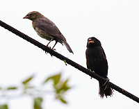 Male and female shiny cowbirds