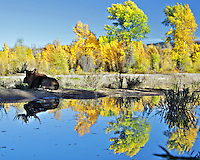 Bull Moose, fall colors, River, reflection, Grand Teton National Park