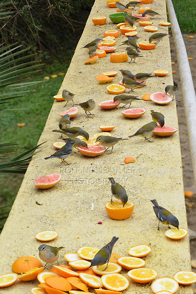 Tennessee Warbler (Vermivora peregrina), adults and other warblers feeding on oranges during fall out, South Padre Island, Texas, USA