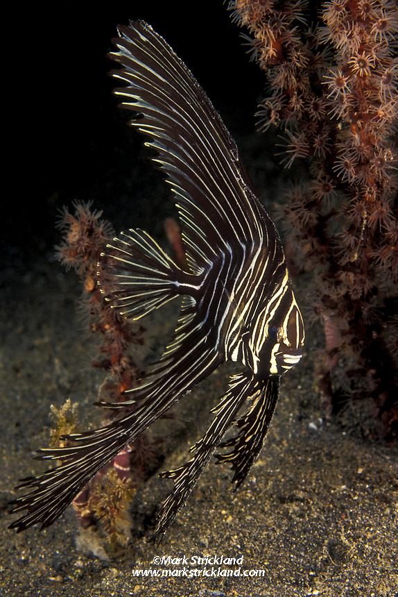 Batavia spadefish, Platax batavianus, Lembeh Strait, Sulawesi, Indonesia, Pacific Ocean