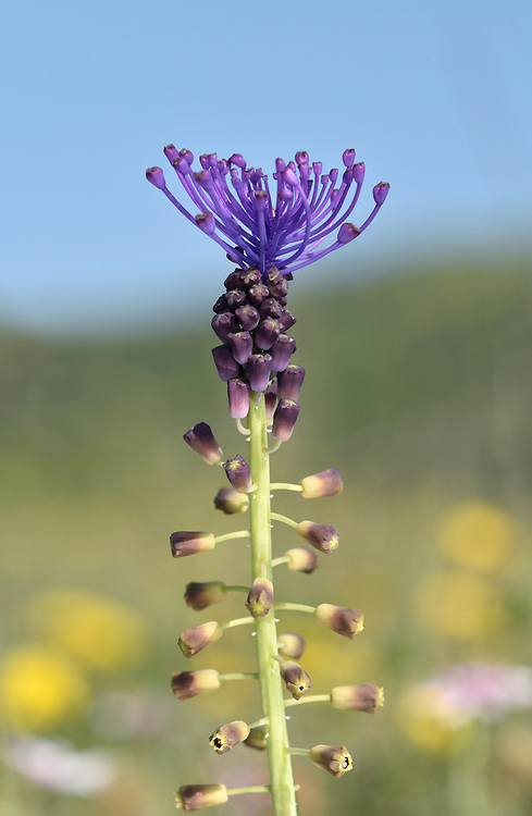 Tassel Hyacinth - Muscari comosum