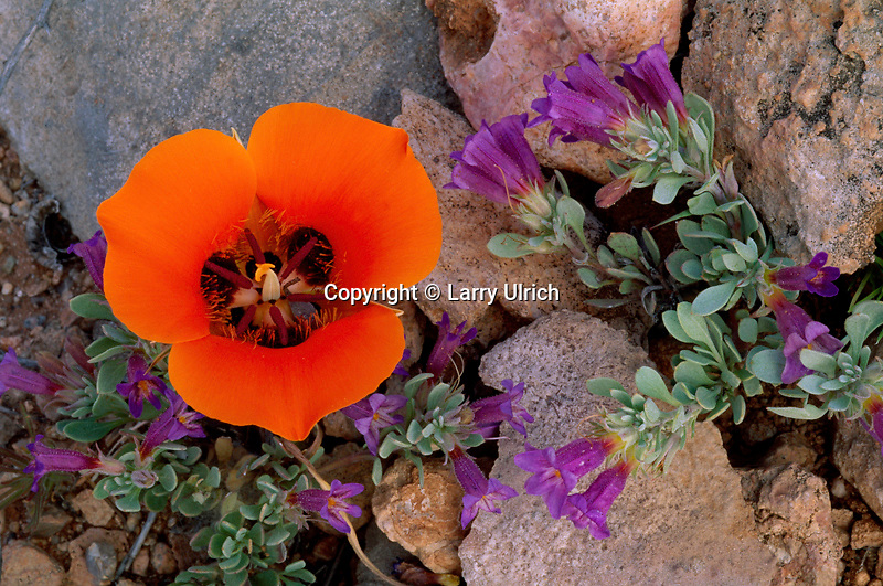 Kennedy's mariposa and Thompson's penstemon<br />