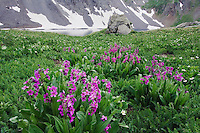 Clear Lake with wildflowers in alpine meadow, Parry's Primrose,Primula parryi,Marsh Marigold, Ouray, San Juan Mountains, Rocky Mountains, Colorado, USA, July 2007