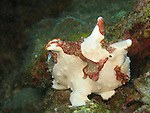 Kenting, Taiwan -- A warty frogfish (Anrennarius maculata) clumpsily makes its way over coral rubble.<br /> <br /> The pectoral and ventral fins of frogfishes have evolved into webbed appendages, which they use to grasp, perch or, in a very clumsy looking manner, 'walk'.<br /> <br /> They are masters of camouflage and can slowly change color to match their surroundings.