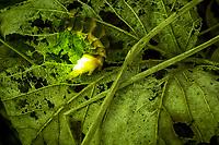 Glow worm female (Lampyris noctiluca) displaying against leaf litter. Surrey, UK.