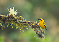 Golden tanager, Tangara arthus goodsoni, Tandayapa Valley, Ecuador