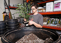 Dillon Hryze (cq) transplants a marijuana plant at the Medicine Man grow house in Denver, Colorado, Tuesday, March 5, 2013. With Colorado's Amendment 64, the state has been working to decide how it will transition to legalized marijuana in the state...Photo by Matt Nager