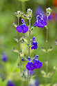 Salvia 'Purple Queen', early August. Thought to be a hybrid of S. greggii and S. chamaedryoides or S. lycioides.