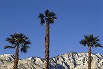 Palm Trees and snow covered mountains near Palm Springs,CA