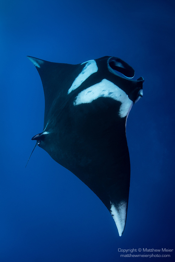San Benedicto Island, Revillagigedos Islands, Mexico; looking down at a chevron manta ray swimming in blue water