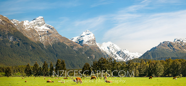 Herd of cows under Southern Alps in Paradise near Glenorchy, Mount Aspiring National Park, UNESCO World Heritage Area, Southland, New Zealand, NZ