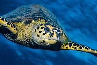 hawksbill sea turtle, Eretmochelys imbricata, Marsa Alam coast, Egypt, Red Sea, Indian Ocean