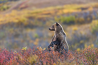Grizzly bear stands up on its hind legs on the autumn colored tundra in Sable Pass in Denali National Park