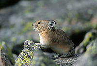35-M02B-PK-07    PIKA (Ochotona princeps) among lichen covered rocks at 14,000 feet, Rocky Mountain National Park, Colorado, USA.