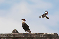 Crested Caracara (Caracara plancus), adult mobbed by Northern Mockingbird (Mimus polyglottos), Sinton, Corpus Christi, Coastal Bend, Texas, USA