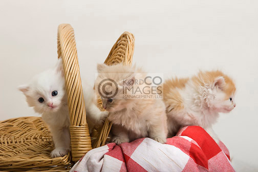 GROUP OF 6 WEEK OLD LONG HAIRED WHITE GINGER KITTENS IN PICNIC BASKET