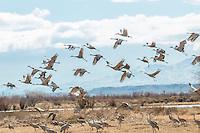 Sandhill Crane at Bosque del Apache National Wildlife Refuge in New Mexico.