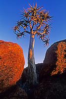 Quiver tree, Kokerboom (Aloe dichotoma), trees at last light, Namibia, Africa