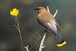 Cedar Waxwing (Bombycilla cedorum) male...