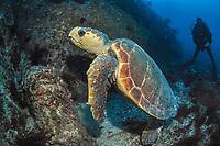 Loggerhead Turtle, Caretta caretta, and diver, Flat Rock, North Stradbroke Island, Moreton Bay Marine Park, Brisbane, Queensland, Australia, South Pacific Ocean