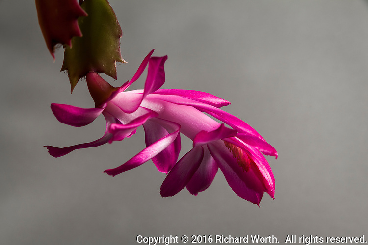 Brilliant pink petals of a succulent, the Schlumbergera truncata.  It blooms in time for Thanksgiving in the U.S., making it the Thanksgiving Cactus.