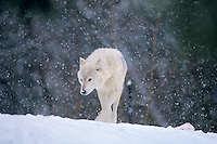 Gray or timber wolf in snowstorm.