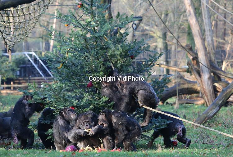 Foto: VidiPhoto<br /> <br /> ARNHEM - Het Arnhemse dierenpark Burgers&rsquo; Zoo trakteerde zijn 17 chimpansees dinsdag op een gezonde kerstboom, vol gehangen met bananen, sinaasappels, paprika&rsquo;s, rode kool en winterpenen. De boom was door de aangenaam verraste dieren binnen enkele seconden leeggeplunderd. Vanwege het uitzonderlijk zachte weer voor de tijd van het jaar mochten de mensapen hiervoor naar buiten. Normaal gesproken is het in de winter te koud voor de dieren om nog naar buiten te gaan. Voor de chimpansees vormt deze afwisseling in het menu een interessante gedragsverrijking. Nadat de dieren zich tegoed hadden gedaan aan alle fruit- en groentesoorten, werden zelfs de bast en de knoppen van de verse dennenboom smakelijk opgegeten.