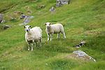 moutons sur Ilot de Vedoya au sud de l ile de Rostlandet<br /> sheeps on Vedoya island nearby Rostlandet