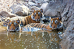 India, Rajasthan, Ranthambhore National Park, Bengal tigers cooling off at waterhole