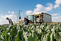 Harvesting cauliflower - Lincolnshire, October