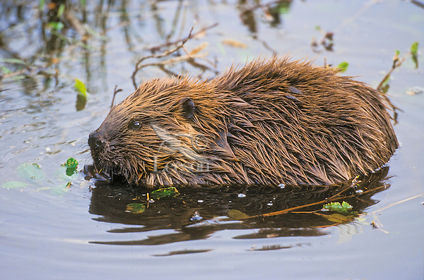 Beaver (Castor canadensis) in pond, autumn, North America.